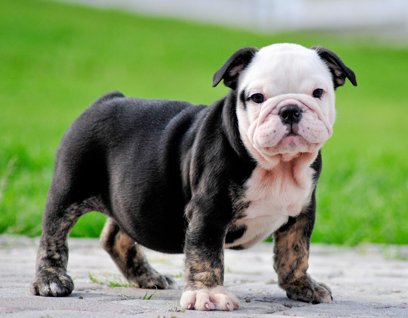 Black English Bulldog Puppies