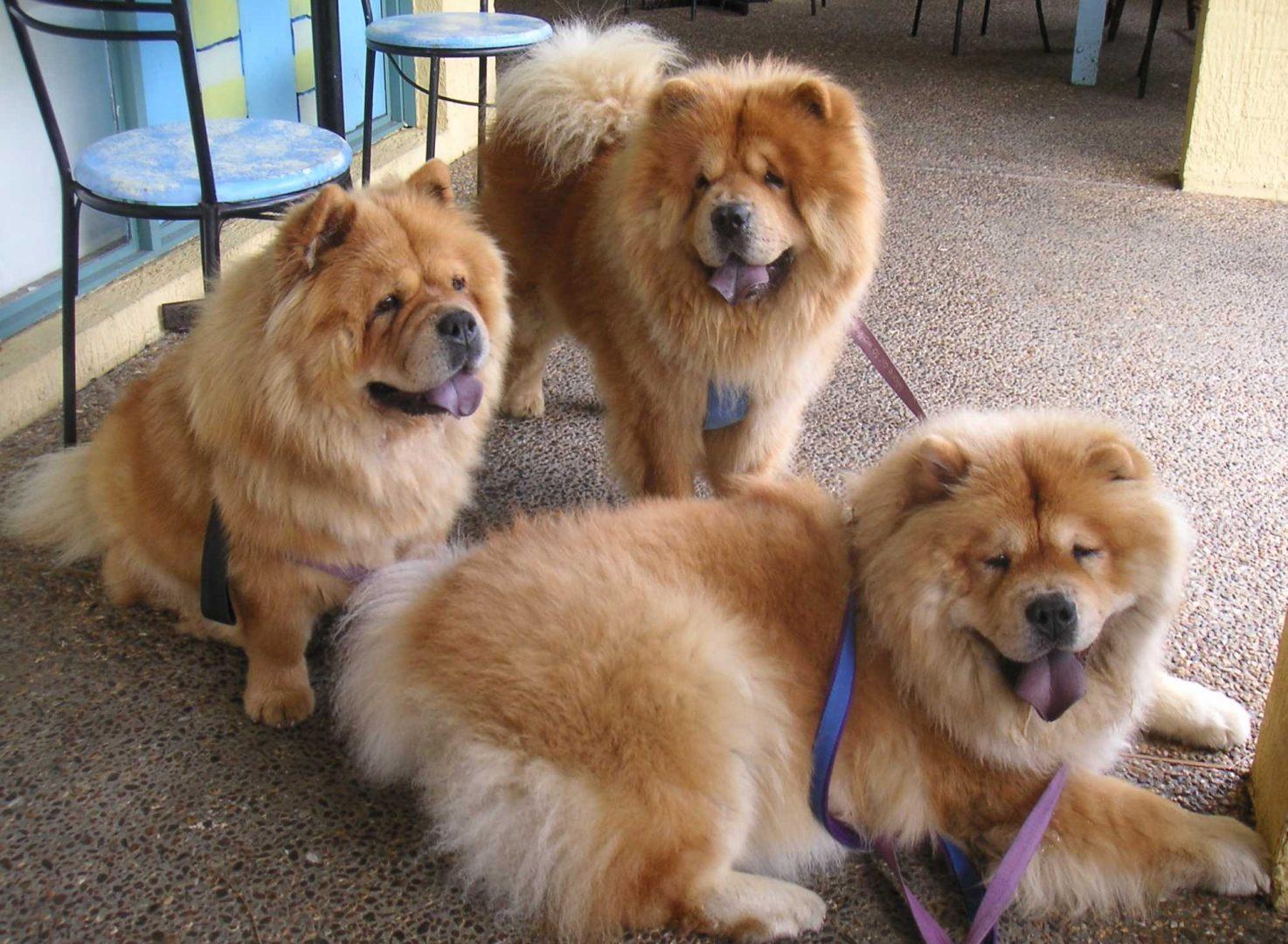 galer a de im genes raza de perros chow chow