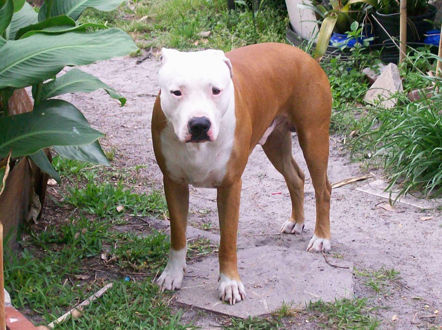 pit bull terrier americano de orejas pequeñas