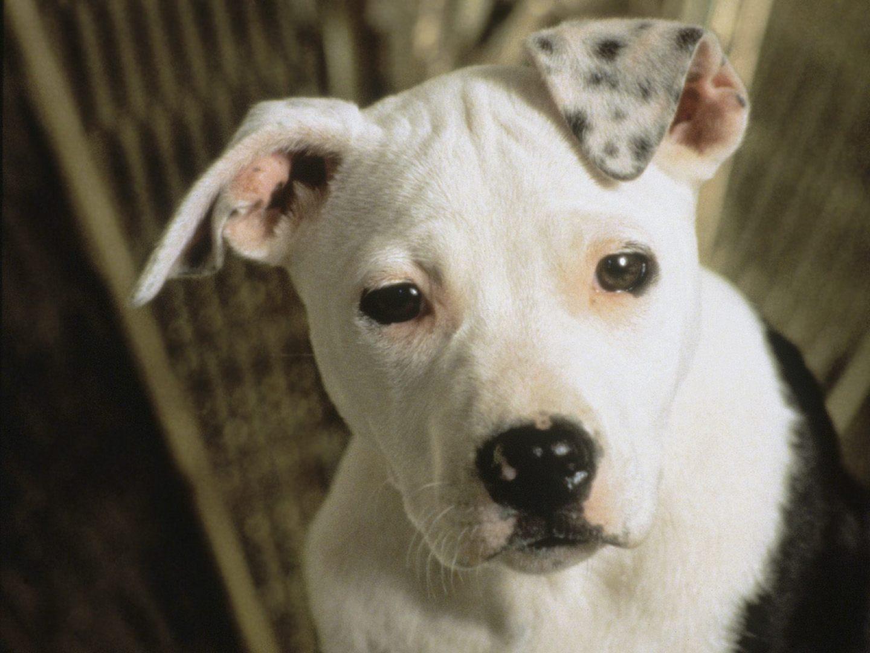 Raza de perros pit bull terrier americano