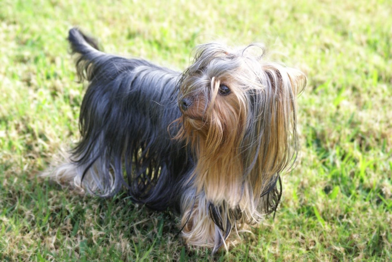 Yorkshire terrier de pelo largo