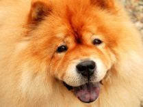 Hocico del chow chow