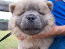 Perrito chow chow